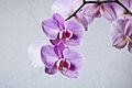 Phalaenopsis cultivar 02.jpg