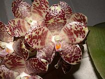 Phalaenopsis gigantea toapel.jpg