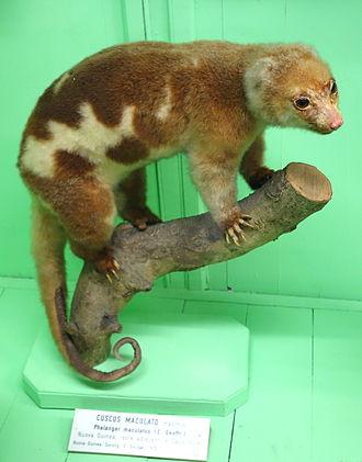 Common spotted cuscus - Spilocuscus maculatus (male)