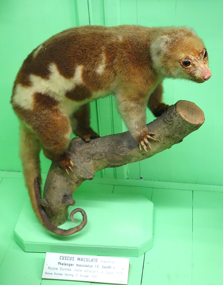 The average adult size of a Common spotted cuscus is  (1' 7