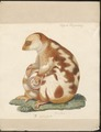 Phalangista maculata - 1700-1880 - Print - Iconographia Zoologica - Special Collections University of Amsterdam - UBA01 IZ20300244.tif
