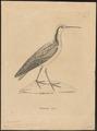 Phalaropus wilsonii - 1700-1880 - Print - Iconographia Zoologica - Special Collections University of Amsterdam - UBA01 IZ17400378.tif