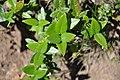 Phillyrea latifolia 2.jpg