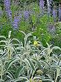 Phlomis angustifolia - Flickr - peganum.jpg