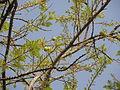 Phyllanthus emblica11.JPG