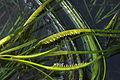 Phyllospadix Flowering (1795000489).jpg