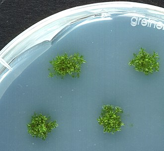 Growth medium - Physcomitrella patens plants growing axenically on agar plates (Petri dish, 9 cm diameter)