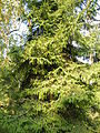 Picea orientalis 24.JPG