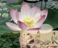 Picking Lotus Flowers 采莲 - 李白.png