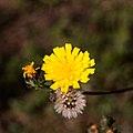 Picris hieracioides Fleur 20150903.jpg