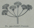 Picture Natural History - No 349 - Sheep's Parsley.png