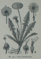 Picture Natural History - No 377 - The Dandelion.png