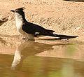 Pied Crested Cuckoos.jpg