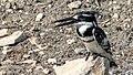 Pied kingfisher (Ceryle rudis) 4.jpg