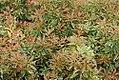 Pieris japonica Variegata 0zz.jpg