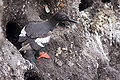 Pigeon Guillemot emerging from nest.jpg