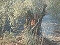 PikiWiki Israel 11501 Fire In Shefaram.JPG