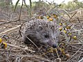 PikiWiki Israel 17010 Hedgehog.jpg