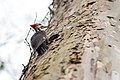 Pileated woodpecker (19179223905).jpg