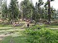 Pine Forest, Boyun Village, Kalam, Swat, Pakistan.jpg