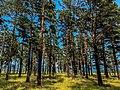 Pine forest. Siberia.jpg