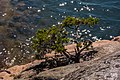 Pine tree on a mountain by the sea and sun glitter in the water.jpg