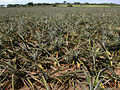 Pineapple field.jpg