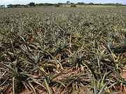 A pineapple field in Veracruz, Mexico.
