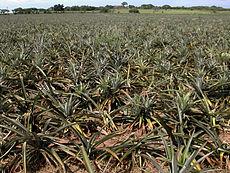 230px-Pineapple_field dans Fruits & Légumes du Pays