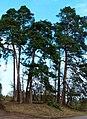 Pines Arround A Bench - panoramio.jpg