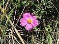 Pink Rock-Rose 01.jpg