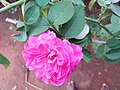 Pink colour rose.jpg