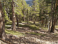 Pinus contorta murrayana Mount Baden-Powell.jpg