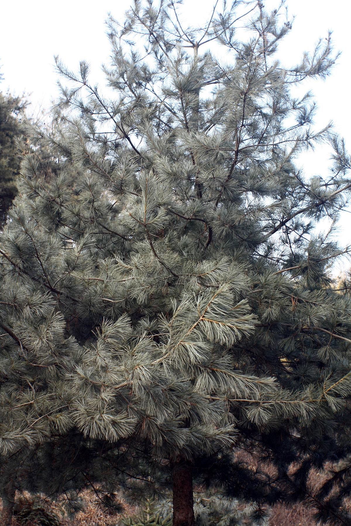 Корейский кедр: Pinus Koraiensis