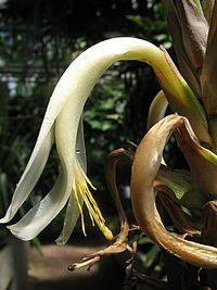 Pitcairnia macrochlamys (TS) 2-02334.jpg