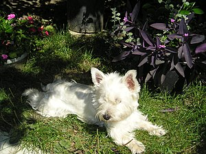 Westy White Terrier