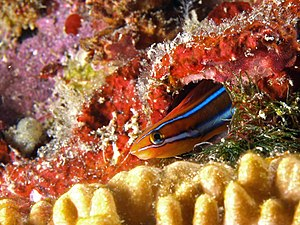 Cleaner fish - The bluestriped fangblenny is an aggressive mimic of the cleaner wrasse.