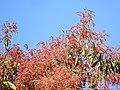 Plant Terminalia myriocarpa DSCN1358 01.jpg
