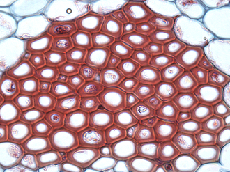Tissue (biology) - Cross section of sclerenchyma fibers in plant ground tissue.