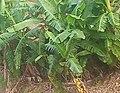 Plantain Plantation.jpg