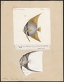 Platax vespertilio - 1700-1880 - Print - Iconographia Zoologica - Special Collections University of Amsterdam - UBA01 IZ13500483.tif