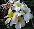 Plumeria Daisy Wilcox - plumeria alba (3593270413).jpg