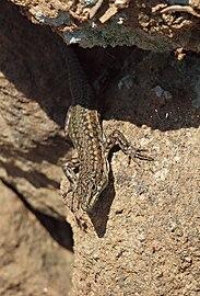 Podarcis hispanica 20100410c.jpg