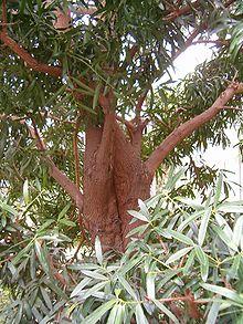 alfabetiese lys van suid afrikaanse bome wikipedia