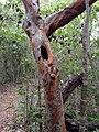 Poisonwood Tree - panoramio.jpg