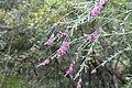 Polygala virgata (Polygalaceae) (6932212523).jpg