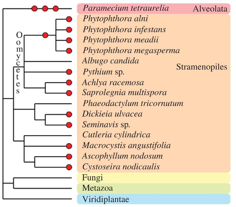 Polyploidy in fungi