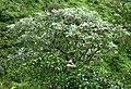 Polyscias hawaiensis (4797555567).jpg