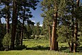Ponderosa Pines and Grassy Valley-Malheur (23304975883).jpg