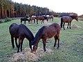 Ponies feeding on straw, Longdown Inclosure, New Forest - geograph.org.uk - 306475.jpg